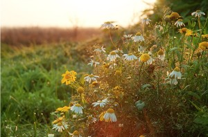 kwiaty na miedzy